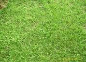Semillas grama pasto bermuda canchas deportivas