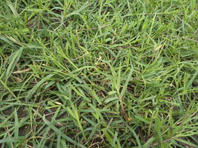 grama natural pasto bermuda grass colombia