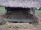 Semillas pastos brachiarias, bermuda, guineas leguminosas rastreras y arbustiva en venezuela