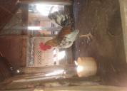 Pollo 7 meses excelente cruse